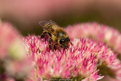 September Bee 2019 017 (boettcher.photography) Tags: sashahasha nature natur makro makrofotografie macro september herbst autumn fall boettcherphotography boettcherphotos tier animal insect insekt blume flower blossom blüte biene bee