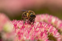 September Bee 2019 016 (boettcher.photography) Tags: sashahasha nature natur makro makrofotografie macro september herbst autumn fall boettcherphotography boettcherphotos tier animal insect insekt blume flower blossom blüte biene bee