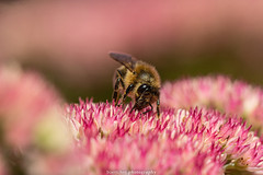 September Bee 2019 015 (boettcher.photography) Tags: sashahasha nature natur makro makrofotografie macro september herbst autumn fall boettcherphotography boettcherphotos tier animal insect insekt blume flower blossom blüte biene bee