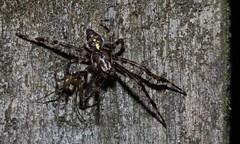 cf male Araneus diadematus areaneidae and cf Drapetisca socialis (BSCG (Badenoch and Strathspey Conservation Group)) Tags: acm arachnid araneidae araneus male drapetisca linyphiidae september flash night behaviour interaction