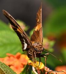 Toro Nagashi Commemorative Festival (michael_orr25) Tags: nikond7500 richmond virginia japanese lewisginter garden insect butterfly