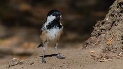 Coal Tit ( Periparus ater ) (Dale Ayres) Tags: coal tit periparus ater bird nature wildlife handheld