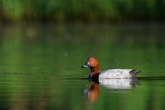 Common Pochard (Hishyar H.) Tags: nikonafs200500mmf56eedvr aquaticbird bird nature wildlife bamberg nikon d500 deutschland vogel tafelente