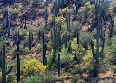 Saguaro Cacti - Central Arizona (danjdavis) Tags: cactus saguarocactus saguaro arizona desertplant desertlandscape