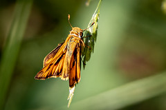 flaming fiery skipper butterfly (robertskirk1) Tags: nature outdoor wildlife insect butterfly mclean virginia va kent gardens park fiery skipper