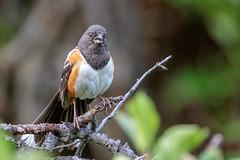 Spotted Towhee (Gf220warbler) Tags: idaho sparrow songbird emberizidae passerine