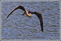 Cormoran vol 190920-01-P (paul.vetter) Tags: oiseau ornithologie ornithology faune animal bird grandcormoran phalacrocoraxcarbo greatcormorant cormorángrande corvomarinho kormoran