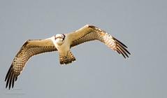 Visarend Osprey (gijs leusink1) Tags: visarend osprey gijsleusinkfotografie natuur natuurfotografie birds vogels nikond500 sigma150600sport nikonnaturephotography genemuiden vreugderijkerwaard d500 nikon birdphotography nikonflickraward