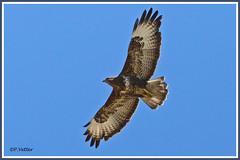 Buse variable 190920-01-P (paul.vetter) Tags: oiseau ornithologie ornithology faune animal bird rapace busevariable buteobuteo commonbuzzard maüsebussard