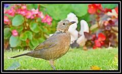"""Bye Bye Blackbird"" (NikonShutterBug1) Tags: nikond7200 tamron18400mm wildlife nature spe smartphotoeditor blackbird tamronaf18400mmf3563diiivcldasphericalif birds ornithology wings"