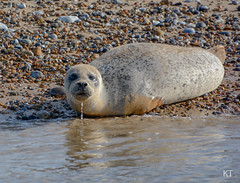 Common seal (Carine06) Tags: seal norfolk blakeneypoint sea beach commonseal harbourseal pup