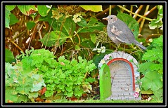 """I am Sentry on the door... that leads to the Secret Garden..."" (NikonShutterBug1) Tags: nikond7200 tamron18400mm wildlife nature spe smartphotoeditor blackbird tamronaf18400mmf3563diiivcldasphericalif birds ornithology wings"