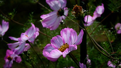 DSCF1674-AGI (cadbac) Tags: wallpaper desktopwallpaper wallpaperwidescreen pcbackground wallpaperfullhd 169 hintergrund flower blume plant flora blooming beautyful nature pflanze blossom bloom fujixt100 xc1545mm cosmea kosmee cosmos