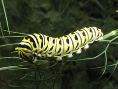 Black swallowtail (Papilio polyxenes), larva (tigerbeatlefreak) Tags: black swallowtail papilio polyxenes larva insect butterfly lepidoptera papilionidae nebraska