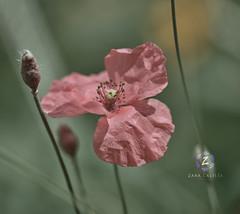 Wild Poppy Flower (Zara Calista) Tags: flower dc bokeh soft floral nikon