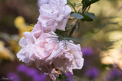 Indian Summer (Irina1010) Tags: roses pink pastel bokeh light indiansummer canon flowers coth5 ngc