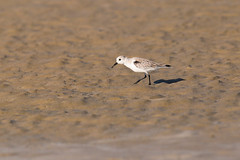 me and my shadow (Rajiv Lather) Tags: waders india indian birds birding birder nature water sand beach outside sunset wildlife light shadow sanderling dunlin tide