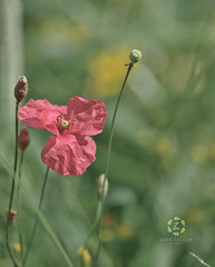 Wild Poppy Flower I (Zara Calista) Tags: flower poppy soft bokeh maryland pink outdoors field nature macro nikon nikkor green yellow dof