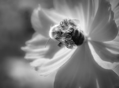 Let your light shine (Millie Cruz (On and Off)) Tags: bee wings light darkness quote blackandwhite insect honeybee nature flower petals macro cmwd cmwdblackandwhite