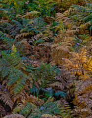 Kelber Pass forest  ferns (Photographer / Artist) Tags: kelberpass colorado nature outdoorphotography naturelovers colors ferns forest trees canon5dsr canon24105