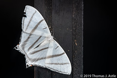 Black and (mostly) White (Tom's Macro and Nature Photographs) Tags: macrophotography moths lepidoptera insects night ecuador cloudforest mindo geometridae