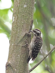 Sunda Pygmy Woodpecker (ChongBT) Tags: nature natural wild life wildlife animal avian bird ornithology yungipicus moluccensis sunda pygmy woodpecker adult female olympus malaysia