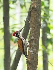 Greater Flameback Woodpecker (ChongBT) Tags: nature natural wild life wildlife animal avian bird ornithology chrysocolaptes guttacristatus greater flameback woodpecker adult male olympus malaysia
