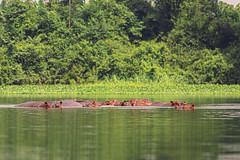 IPPOPOTAMI   ---   HIPPOS (Ezio Donati is ) Tags: animali animals acqua water foresta forest isole iles natura nature pericolo danger westafrica costadavorio fiumrbandama areataimboitem