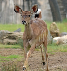 greater kudu Blijdorp 094A0221 (j.a.kok) Tags: animal africa afrika mammal zoogdier dier herbivore blijdorp antilope koedoe grotekoedoe kudu greaterkudu