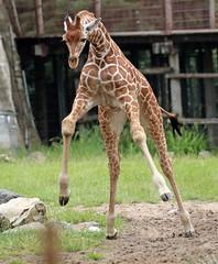 reticilated giraffe Blijdorp 094A0251 (j.a.kok) Tags: animal africa afrika mammal zoogdier dier herbivore blijdorp giraffe reticulatedgiraffe netgiraffe