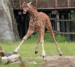 reticilated giraffe Blijdorp 094A0252 (j.a.kok) Tags: animal africa afrika mammal zoogdier dier herbivore blijdorp giraffe reticulatedgiraffe netgiraffe