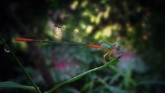 Damselfly (sajinrajknilambur) Tags: dragonfly nature kerala nilambur india insect damselfly