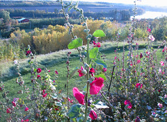 Hollyhock (Waddellz) Tags: hollyhock flower alberta g11