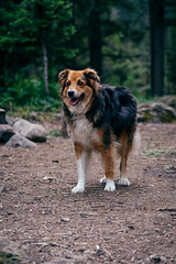 DSC_5909-Edit (wreckdiver1321) Tags: adventure aussie australian big camp camping campsite crazies crazy dog montana mountains outdoors pup scout shepherd timber travel wander wanderlust woods
