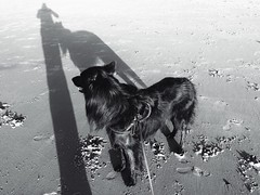 Totoro at the beach 🐺 (Jos Mecklenfeld) Tags: zee sea strand beach hond dog herder herdershond shepherd shepherddog hollandseherder hollandseherdershond dutchshepherd totoro