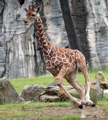 reticilated giraffe Blijdorp 094A0258 (j.a.kok) Tags: animal africa afrika mammal zoogdier dier herbivore blijdorp giraffe reticulatedgiraffe netgiraffe