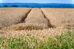 Traces in the cornfield - 4441 (Peter Goll thx for +13.000.000 views) Tags: track z6 landscape landschaft nikkor28300 trace summer ostsee nikonz6 kornfeld mecklenburgvorpommern nikon spur nikonz nikkor feld sommer field deutschland nienhagen
