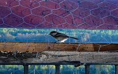 Chickadee at the Feeder (Waddellz) Tags: chickadee bird feeder alberta g11