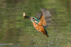 Successful dive 501_3380.jpg (Mobile Lynn) Tags: kingfishersrelatives kingfisher birds nature alcedoatthis aves bird chordata coraciiformes fauna wildlife winchester england unitedkingdom coth specanimal coth5 ngc npc sunrays5