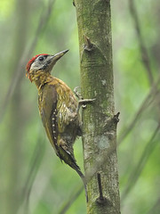 Laced Woodpecker (ChongBT) Tags: nature natural wild life wildlife animal avian bird ornithology laced woodpecker picus vittatus adult male olympus malaysia