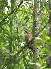 Laced Woodpecker (ChongBT) Tags: nature natural wild life wildlife animal avian bird ornithology laced woodpecker picus vittatus adult female olympus malaysia