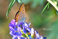 Pssst.. over here please! (BlueLunarRose) Tags: butterfly insect bug hairstreak flower alfalfa plant macro nature blue orange colors green bokeh closeup light dof sonyalphadslra200 sal75300 bluelunarrose