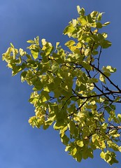 Sunlit leaves and blue (markshephard800) Tags: blue tree green leaves sunlight sunshine sunlit paisley barshawpark