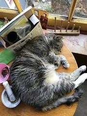 Circle nap (artnoose) Tags: window table asleep cat tabby grey gray lily