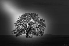 "Glowing Tree! (bobban25) Tags: canon eos 80d efs18135mm f3556 is stm linköping östergötland sverige sweden scandinavia canoneos80d canon80d blackandwhite bw ""artinbw tree träd lanscape landskap svat vit"