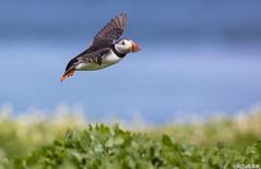 Libertad (AiToR Badiola M.) Tags: aves bird frailecillo farne fratercula arctica atlantic puffin
