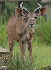 greater kudu Blijdorp 094A0272 (j.a.kok) Tags: animal africa afrika mammal zoogdier dier herbivore blijdorp antilope koedoe grotekoedoe kudu greaterkudu