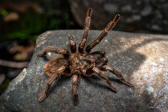 Euathlus sp (Felipe Rabanal) Tags: tarantula spider a7iii sony sonyalfa tamron 2875