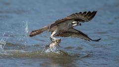Osprey  6070 (Paul McGoveran) Tags: bif bird birdinflight hendrievalley nature nikon500mmf4 nikond500 nikond850 osprey raptor wings coth5