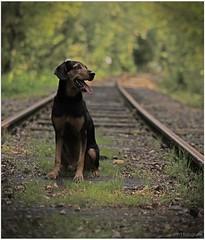 Lemmy on old rails (lichtspuren) Tags: lemmy lemmel bracke hellenichound hellinikosichnilatis blackandtan braque dog hund friend lichtspuren